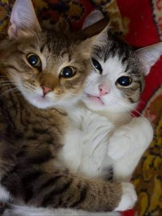 Cute Baby Cats, Cute Cats And Kittens, Cute Funny Animals, Cute Baby Animals, Kittens Cutest, Funny Cats, Pretty Cats, Beautiful Cats, Animals Beautiful