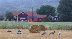 Tranor på ett fält. Foto: Kent-Ove Hvass