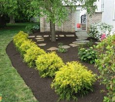 Gold Mop Weeping Threadleaf Cypress #WalkwayLandscaping #LandscapeFrontYard