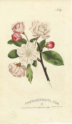 Antique print: Chinese Apple Tree (Pyrus spectabilis) - China 1790s [#17646]
