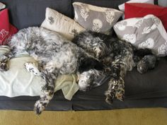 Storm and bella after we have done our job well: they're knackered! #englishsetters #tireddogs #cute
