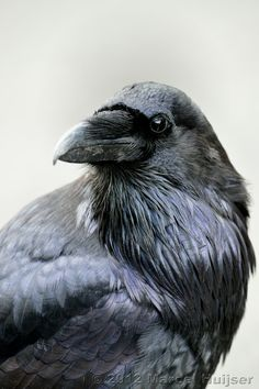 Wildlife: Common raven (Corvus corax), Wyoming, USA