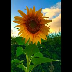 Beautiful sunflower out of my garden love them.❤️🌼