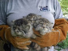Pallas' Cat kittens I would LOVE to have even one of these cats! Crazy Cats, Big Cats, Cool Cats, Cats And Kittens, Siamese Cats, Small Wild Cats, Small Cat, Animals And Pets, Baby Animals