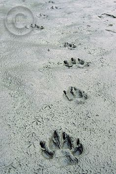 wolf tracks North American Animals, Animal Tracks, Wolf Love, Animal Totems, Paw Prints, Crows, My Animal, Wood Carving, Beautiful Creatures
