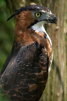Ornate Hawk Eagle--Central and South America