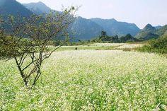Hoa cai trang - Moc Chau, Vietnam  pystravel.com