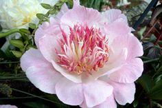 'Do Tell'  Kaunis hempeän lilahtava pastelliväri, voimakas kasvu. Vuokkomallinen.  sormustinkukkien luona, 2. portilta