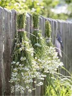 Bunches of Daisies Hanging to Dry on a Fence
