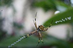 Visitantes en el patio - Araña Hilo dorado y zig zag