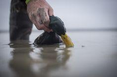 Top 10 Ducks for Eating   Duck Commander