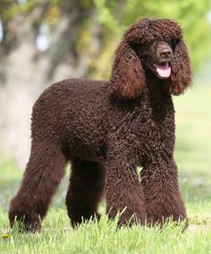 Irish Water Spaniel - The Irish Water Spaniel is a natural clown with an inquisitive, determined personality. A member of the ancient family of water dogs found in Europe, the IWS is probably closely related to the Poodle.