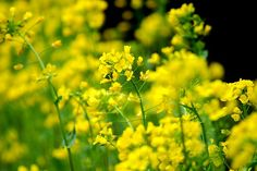 菰野町千草地区 菜の花         平成25年3月20日撮影