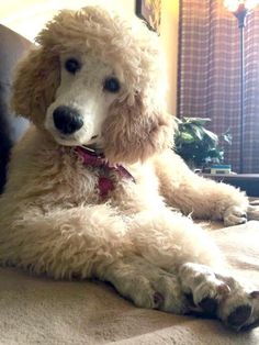 You talkin' to me?  Bijou (Jewel in French), Lupita (imp in Latin) #Poodle