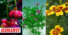 Parhaimmat kesäkukat kukkivat vähällä hoidolla upeasti koko kesän. Helsingin kaupungin kesäkukkaistutuksista vastaava Kirsti Oksanen valitsi kymmenen helppoa ja varmaa suosikkiaan. Plants, Plant, Planets