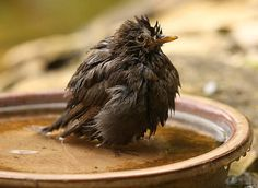 A female Blackbird bathing in a water bowl Poster Garden Inspiration, Bird, Water, Kos, Animals, Funny, Gripe Water, Animales, Animaux