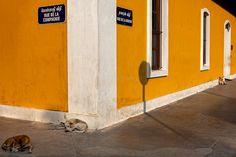 Dogs, Pondicherry