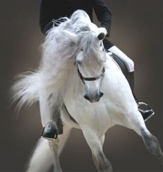 Dancing Lippizaner of the Spanish Riding School of Vienna.