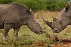 Imagen de la serie 'Las guerras de los rinocerontes', premiada en la categoría de 'Reportajes de Naturaleza'. La foto muestra a dos rinocerontes en el la reserva de Tugela, Colenso, Sudáfrica.