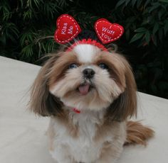 FLOATING HEARTS  VALENTINE Dog hat  Humorous by StylinDogsBoutique, $10.00