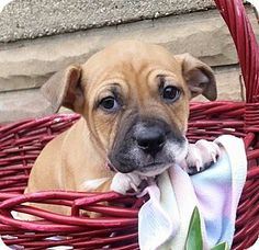 Shepherd (Unknown Type)/Boxer Mix Puppy for adoption in Detroit, Michigan - Lovey