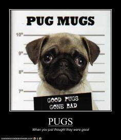PUGS XD pugs mugs XD