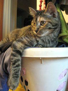 197 best laundry cats images on pinterest laundry laundry