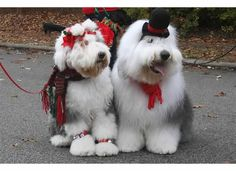 Old English Sheepdogs all dressed up!