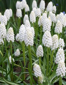 "White Grape Hyacinth or Muscari--4-8"", full to partial sun, plant in fall to bloom midspring; perennial"