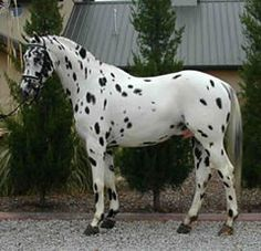 """KNABSTRUPPER - horses were bred in Denmark as far back as 1671 when they were called """"The Tiger Horses."""" In 1750, this royal breeding line came to an end."""