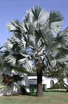 bismarck palm spread | Bismarckia nobilis