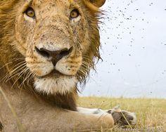 Die Kamera dokumentiert, dass sich selbst der König der Tiere mit Problemen wie einer Fliegenplage rumschlagen muss.