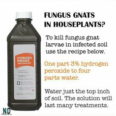 Gnats In House Plants, House Plants Decor, Plant Bugs, Plant Pests, Potted Plants, Garden Plants, Indoor Plants, Getting Rid Of Nats, Gnat Spray