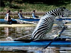 lol - Rowing Animal Olympics Reminds me of that short film on giraffe's diving. ha ha