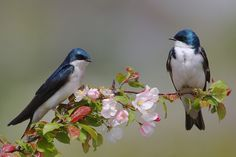 The Tree Swallow (Tachycineta bicolor) is a migratory passerine bird that breeds in North America and winters in Mexico, Central America and the Caribbean. It is a very rare vagrant to western Europe.