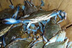 Conrad's Get True Blue Maryland crabs right off of his boat! Can they get any fresher? Seafood Online, Local Seafood, Fresh Seafood, Steamed Crabs, Seafood Party, Dinner Entrees, He Is Able, Maryland, Schools