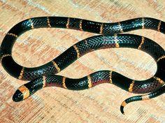 A cobra coral oriental é extremamente venenosa  Foto: Divulgação