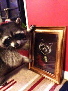 Портрет Rare Animals, Animals And Pets, Funny Animals, Strange Animals, Funny Raccoons, Funny Animal Videos, Funny Animal Pictures, Pet Raccoon, Cute Rats