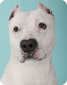 09/06/15-Chicago, IL - American Pit Bull Terrier Mix. Meet Mr Belvedere, a dog for adoption. http://www.adoptapet.com/pet/12834646-chicago-illinois-american-pit-bull-terrier-mix
