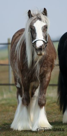 #horses Gypsy Vanner. / Oh my. What a true beauty. Love the color EL.