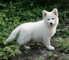 photo2-berger-blanc-suisse-4xex9x4w250146