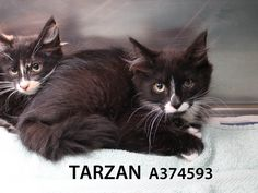 Tarzan and Jane are a little bit on the wild side still. These lovely kittens were found as strays and are still a bit uncertain about people. They can sometimes still hiss but spend a little time with them and you will find a couple of sweethearts waiting to blossom. Call (415) 554-6364 for more info!
