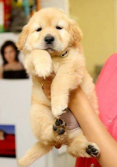 Golden retriever puppy!
