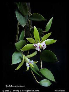 Dendrobium peguanum plant. A species orchid (color)