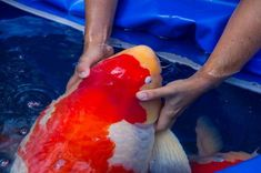 Their spectacular colors and patterns are part of the reason that koi fish are loved today and treasured by their owners. Colors of a koi fish should be bright. Koy Fish, Koi Carp Fish, Fish Ponds Backyard, Koi Ponds, Outdoor Fish Ponds, Garden Ponds, Fish Pond Gardens, Fish Information, Japanese Koi