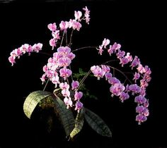 Phalaenopsis Stuartiana Var Nobilis | Phal schilleriana 'Pink Butterfly' HCC/AOS - Orchid Forum by The ...