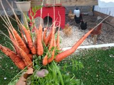 How to Grow Carrots at Home