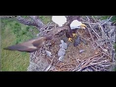 Watch Freedom and Liberty Hatch! DC Eagle Cam - YouTube