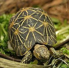 The Indian Star Tortoise is found in dry areas and scrub forest in India and Sri Lanka and is quite popular in the exotic pet trade. These animals generally don't live in captivity, as they are very difficult to raise. They are finicky eaters, gain weight very slowly and most die within the first few months of life. The capture of this tortoise from the wild is illegal in India.