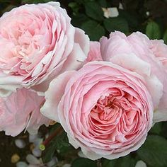 Geoff Hamilton Roses (Ausham) (not a climber, but continually blooming)